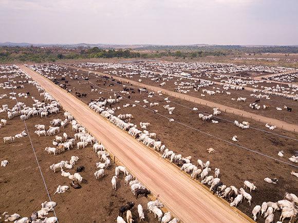 גידול בעלי חיים למאכל דורש שטח גדול, צורך מים ומשאבים נוספים, תורם לזיהום הסביבה ופולט גזי חממה. פרים בחוות בקר גדולה בברזיל | צילום:  PARALAXIS, Shutterstock