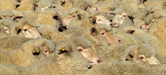 כבשים מגזע מרינו | צילום: Shutterstock