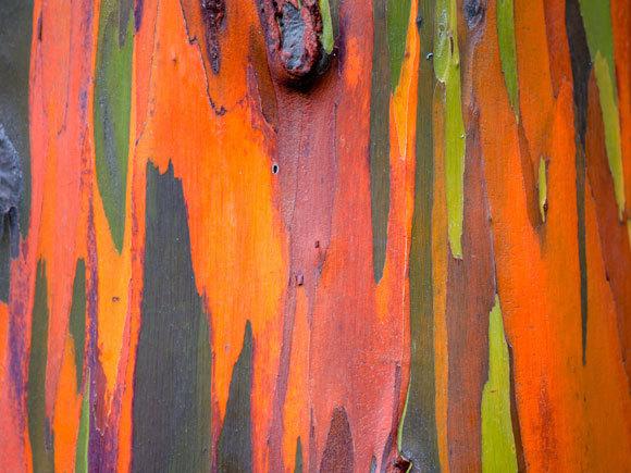 מגוון של טאנינים מקנה לגזע של אקליפטוס האיים את פסיפס הצבעים. אקליפטוס האיים| מקור: Shutterstock