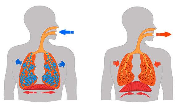 אילוסטרציה של התרחבות והתכווצות הסרעפת ובית החזה בשעת הנשיפה (מימין) והשאיפה   Shutterstock, grayjay