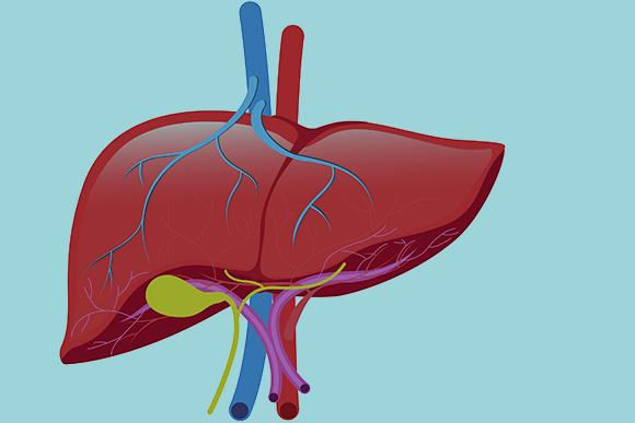 הכבד ניזון גם מעורק וגם מווריד, ומחזיר דם ללב דרך וריד נוסף. איור: OHishiapply Shutterstock