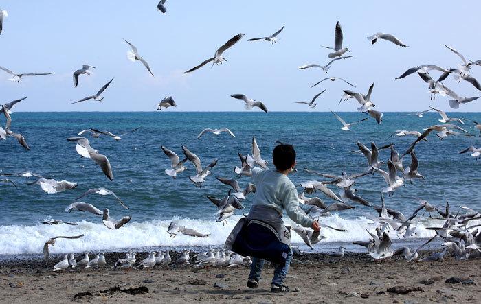 האכלת שחפים בחוף ים בקוריאה הדרומית | צילום: KoreaKHW, Shutterstock