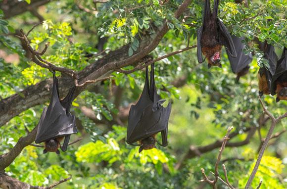 עטלפים נתלים מעצים