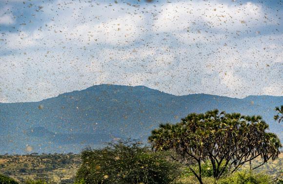 נחילים של ארבה המדבר באזור סמבורו בקניה   צילום: Shutterstock