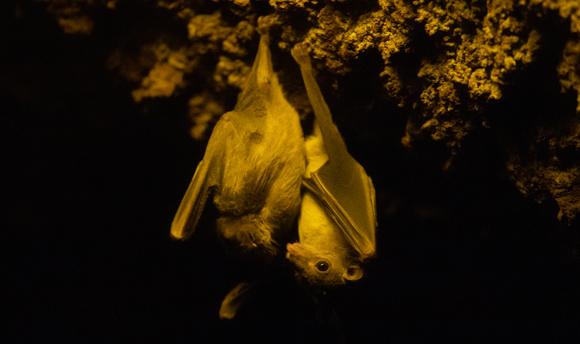 עטלף פירות מצוי תלוי מתקרת מערה | צילום: Azahara Perez, Shutterstock