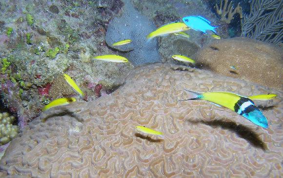זכר טווסון כחול ראש ולידו דגים צהובים שהם הנקבות ואולי זכרים משלב ראשון | צילום: Rob Atherton, Shutterstock