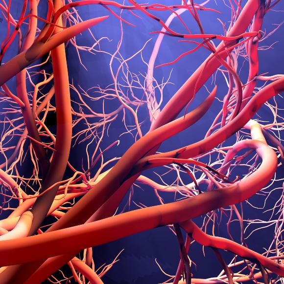 הדמיה של צמיחת כלי דם חדשים. איור: Design_Cells, Shutterstock