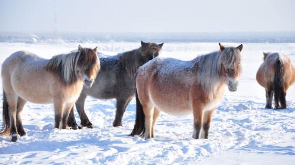 מותאמים לחיים גם בתקופת הקרח. סוסי בר סיביריים, שבעבר רעו באזור עדרים גדולים שלהם | צילום: Piu_Piu, Shutterstock