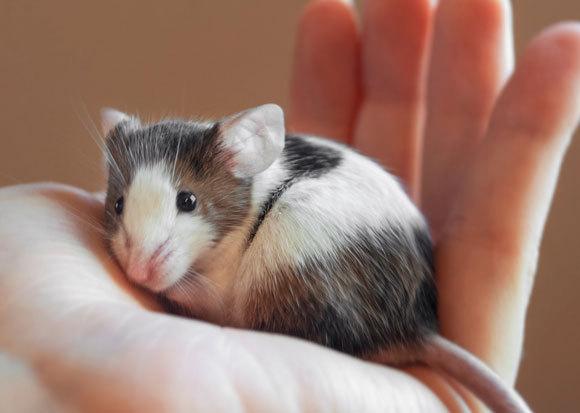 עכבר על כף יד של אדם | צילום: Felicia Morack, Shutterstock
