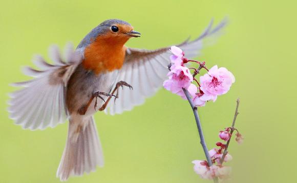חלבון רגיש במיוחד לשדות מגנטיים, בשונה מהחלבון של עופות לא נודדים. אדום חזה | צילום: Shutterstock, Wang LiQiang