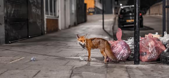 שועל מחפש מזון באשפה | צילום: bardzo.photo, Shutterstock