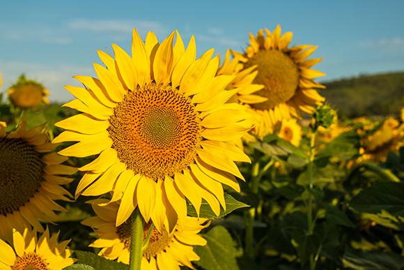 אחת הדוגמאות המרהיבות ביותר לפיזור העלים היא החמנית, שהזרעים שלה מסודרים בספירלות | Shutterstock, Pablesku