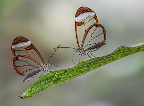 פרפרי כנף הזכוכית על ענף | צילום:  Albert Beukhof, Shutterstock