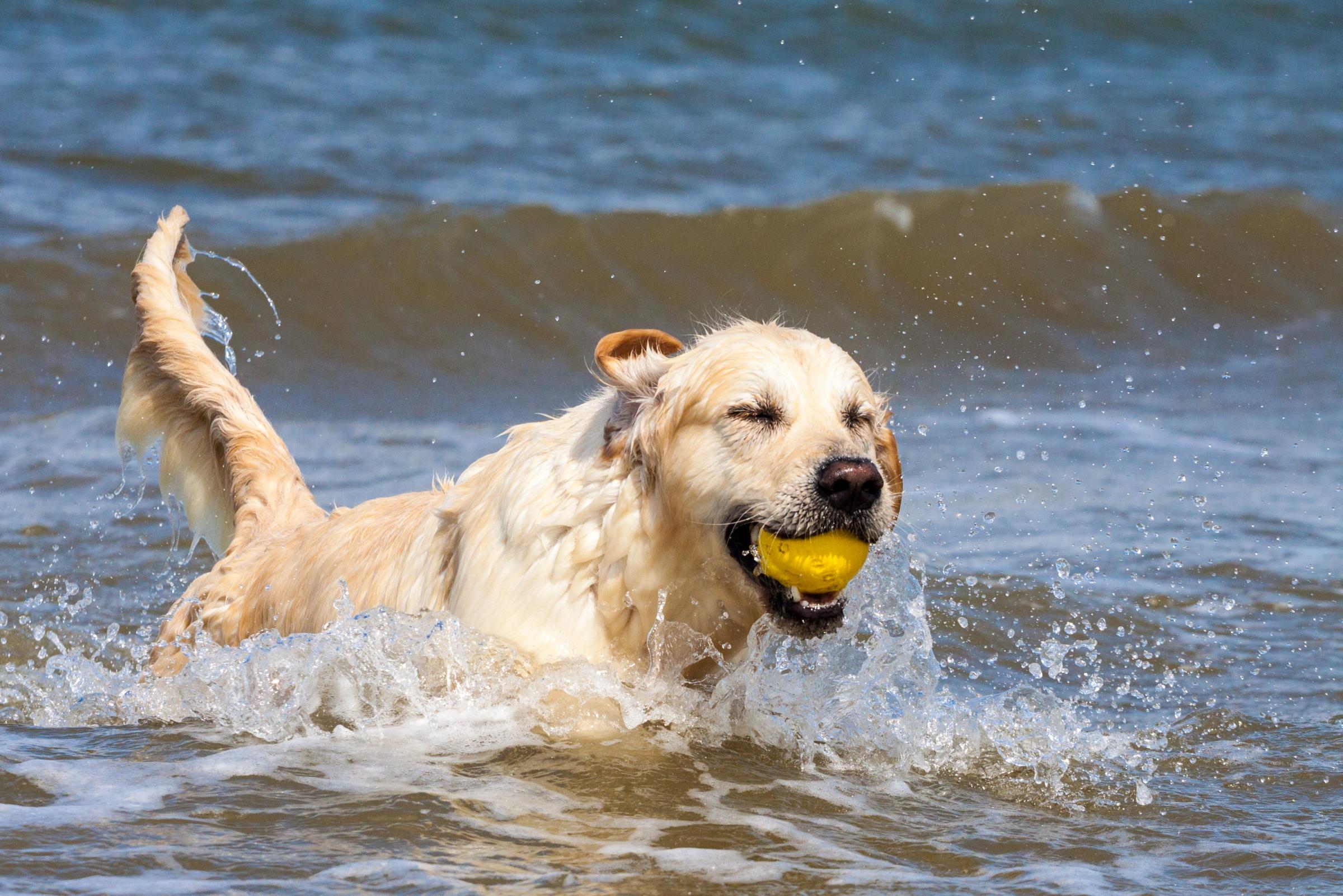אוהבים מים ותמיד ישמחו לרוץ אחר כדור. גולדן רטריבר מדגים את התכונות האופייניות לגזעו | צילום: Shutterstock