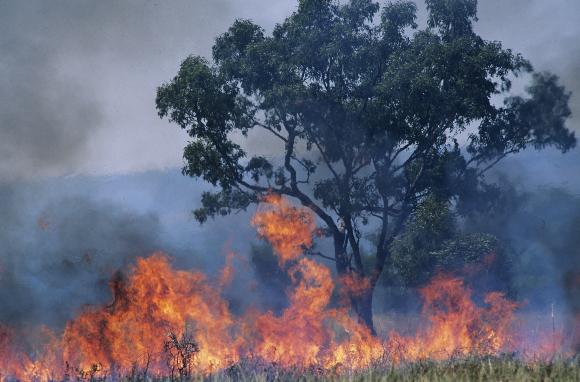 אקליפטוס עולה באש | צילום: Shutterstock