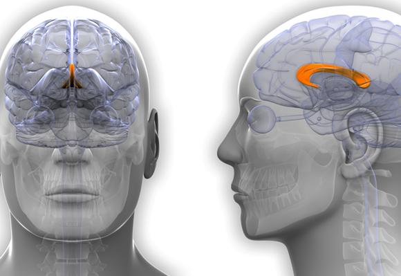 אילוסטרציה של הקורפוס קולוסום ומיקומו במוח | Shutterstock, decade3d - anatomy online