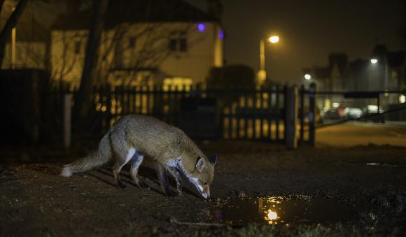 שועל מחפש מזון בגן ציבורי בשכונת מגורים| צילום: Jamie Hall, Shutterstock