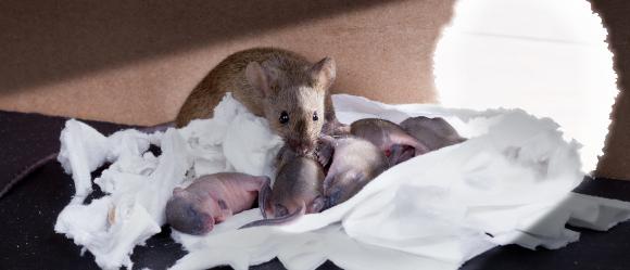מתברר שיש הבדל בין המוח הזכרי למוח הנקבי, לפחות אצל עכברים | עכברה מטפלת בגורים | צילום: Shutterstock