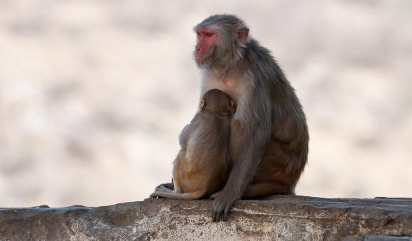קופי מקוק רזוס בהודו | צילום: Kurkul, Shutterstock