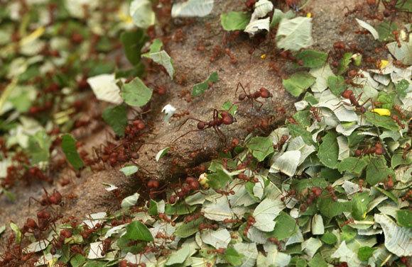 נמלים גוזרות עלים   מקור: Vladimir Wrangel, Shutterstock