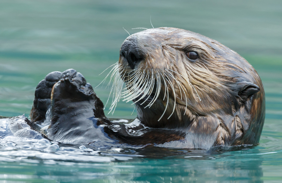 האם הנגיף עבר עם חיות בר שנפתחו עקב הפשרת קרחונים בקוטב? לוטרה באוקיינוס השקט | צילום: Shutterstock
