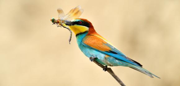 שרקרק מצוי טורף שפירית | צילום: aaltair, Shutterstock