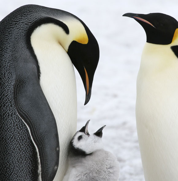 A family of emperor penguins. Photograph: Shutterstock