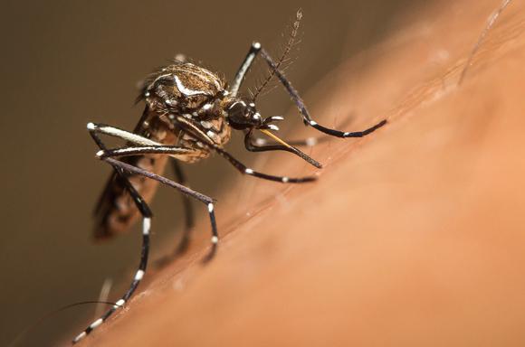 רק על בטן מלאה פוחתת המשיכה שלה לבני אדם. יתושת Aedes aegypti מוצצת דם | צילום: Shutterstock