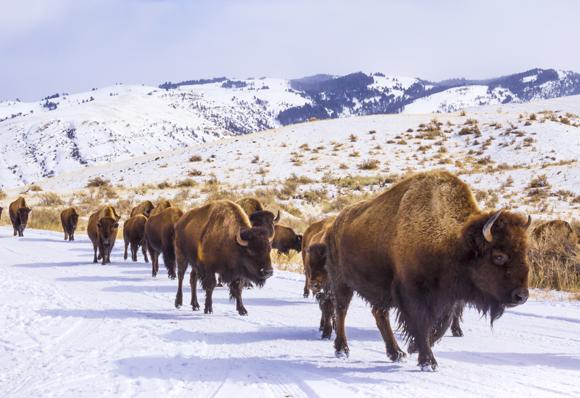 עדר ביזונים בשלג בצפון ארצות הברית | צילום:  BlazingBighornStudios, Shutterstock