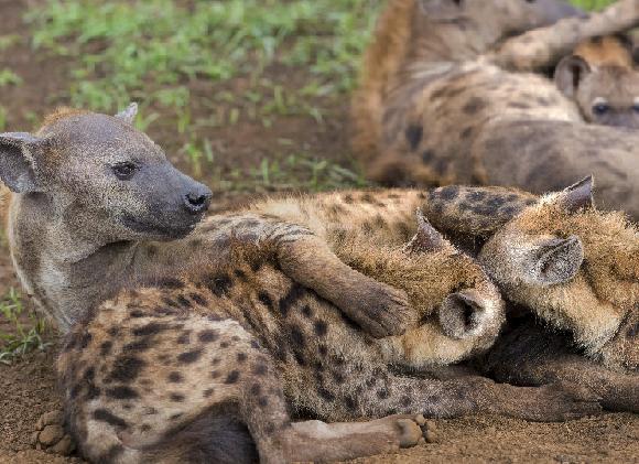משפחת צבועים נקודים. צילום: Alta Oosthuizen, Shutterstock