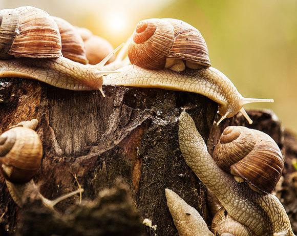 חלזונות גינה ימניים רגילים   צילום: Dragan Grkic, Shutterstock