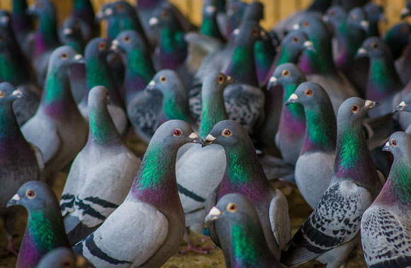 Pigeon milk is richer in proteins than human or cow milk, and contains other beneficial components. Photograph: Shutterstock