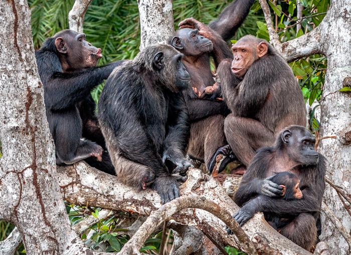 ככל שפגיעת האדם בקבוצה קשה יותר, כך קשה לה יותר למשר את מסורותיה. שימפנזים בטבע | צילום: Shutterstock