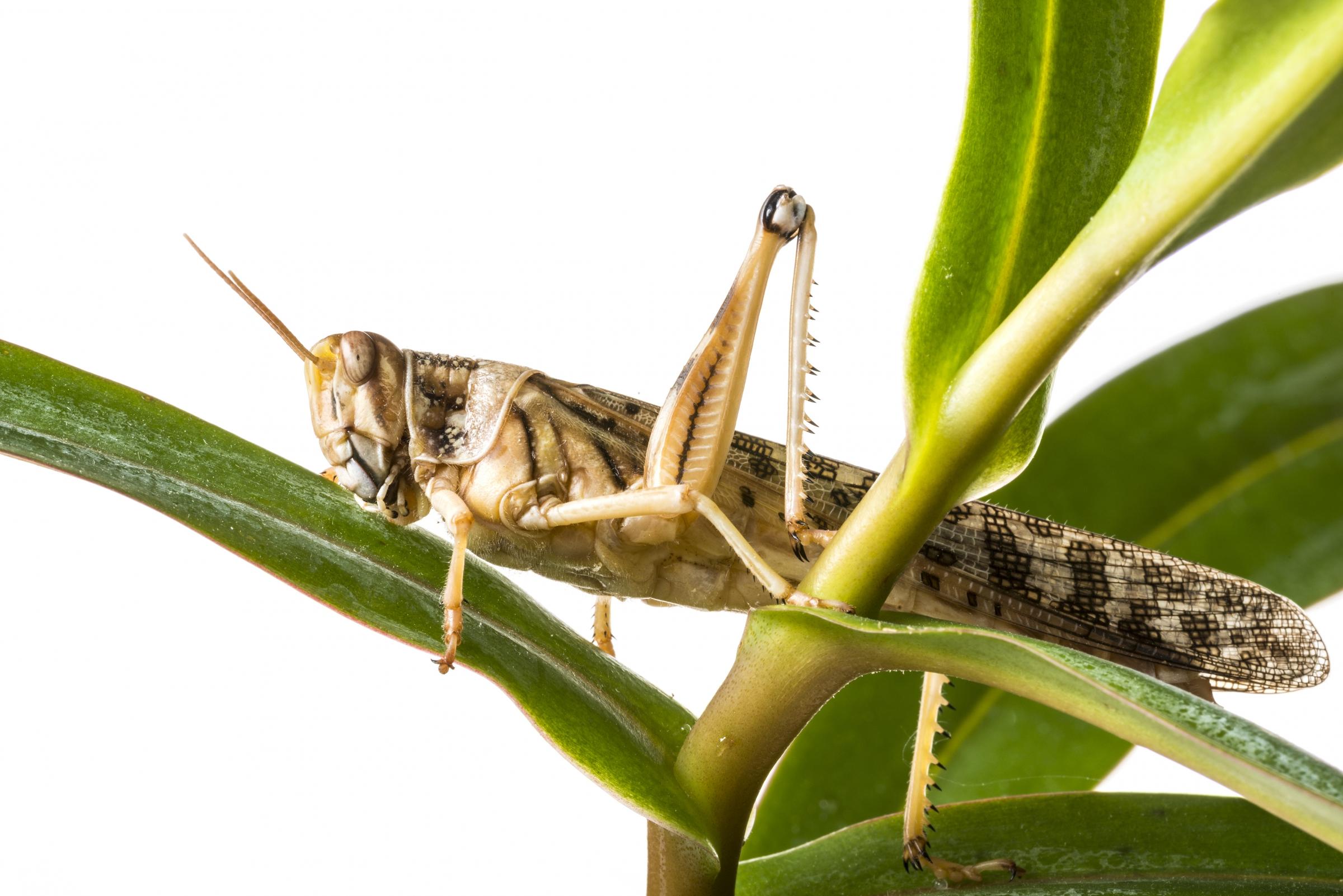 ארבה המדבר Schistocerca gregaria , קרדיט: shutterstock