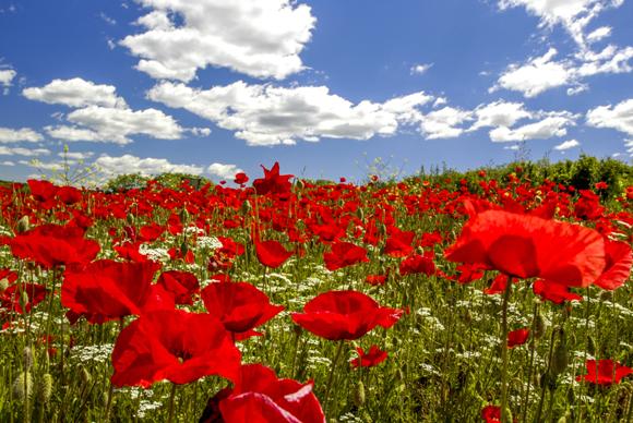 נודעו כפרחים שצצים לאחר הקרבות. פרג השדות בסלובניה | Shutterstock, visualpower