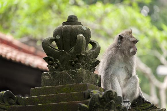 קוף מקוק ארוך זנב במקדש באינדונזיה | צילום: Edmund Lowe Photography, Shutterstock