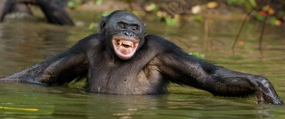 בונובו רוחץ בנהר | Shutterstock