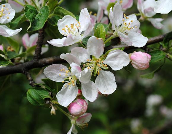 פריחת התפוח | Shutterstock, Illia Mozhnevskyi