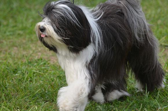 כלב רועים | Shutterstock