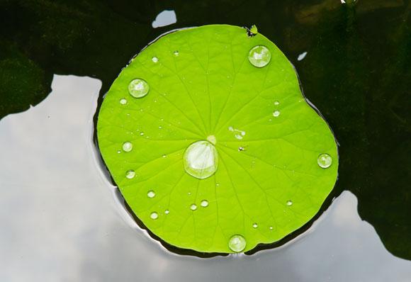 עלה לוטוס מדגים דחיית מים מהי   צילום: Shutterstock