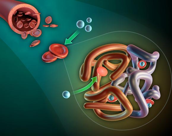 מכונות שאחראיות על תפקודים רבים של הגוף. המבנה של חלבון ההמוגלובין, המספק חמצן לתאים | איור: Andrea Danti, Shutterstock