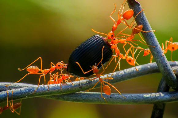 הנמלים שלמדו את הדרך בטוחות בה גם כשהן צועדות לאחור עם משאן. שיתוף פעולה בסחיבת מזון לקן | צילום: ka pong26, Shutterstock