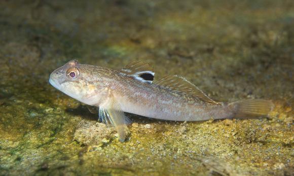דג קברנון שחור פה בנהר הדנובה , Shutterstock