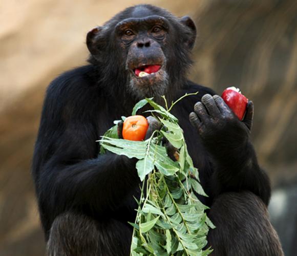 שימפנזה אוכל פירות ועלים | Shutterstock