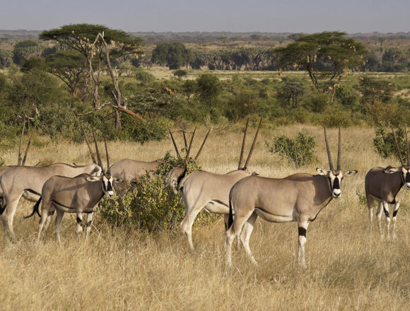 עדר ראם מזרח אפריקאי   צילום:  MicheleB, Shutterstock
