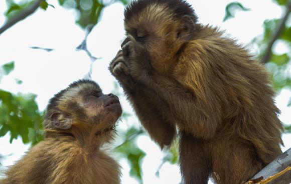 קוף קפוצ'ין צעיר מסתכל על חברו לקבוצה המבוגר יותר אוכל | Shutterstock