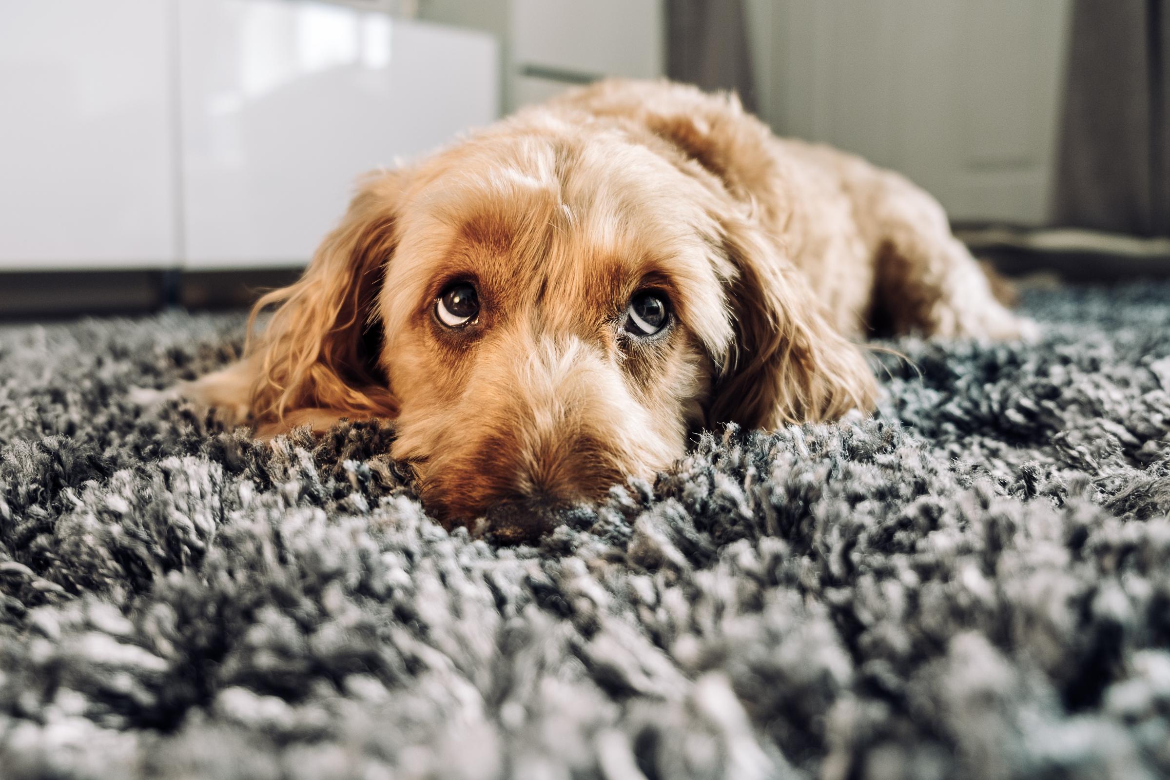 מתאימים את עצמם למערכת הנפשית שכבר קיימת אצל בני אדם. כלב מרים גבות | צילום: Shutterstock
