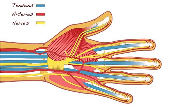 הגידים המיישרים ומכופפים את אצבעות כף היד מסומנים בכחול. הקווים הצהובים הם עצבים, והאדומים - כלי דם   איור: Helena Ohman, Shutterstock