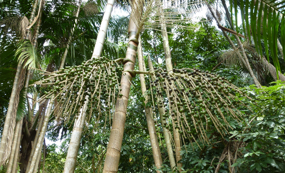 צמח מקומי העשוי להניב רווחים גדולים פי 15 מבקר, שבשבילו כורתים יערות | דקלי אסאי באמזונס | צילום: Shutterstock