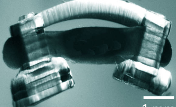 הספינובוט, עם זרועות מהידרוג'ל ותאי שריר שמקורם בעכבר, מעוצבב בעזרת עמוד שדרה של חולדה | קרדיט: Collin Kaufman